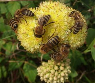 Ogólnopolski Dzień Pszczół. Podlaskie Parki nauczą o zapylaniu [WIDEO]