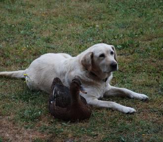 Niezwykła przyjaźń psa i kaczki