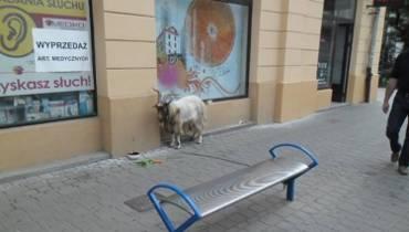 Pijani zabrali kozę na spacer po Krakowie. Przywiązali ją do ławki [ZDJĘCIA]