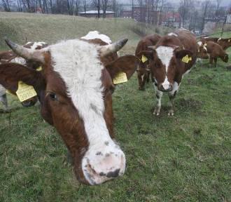 58-latek śmiertelnie poturbowany przez byki