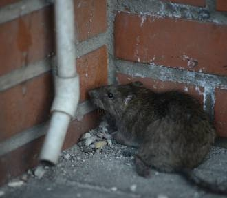 Coraz więcej szczurów w Poznaniu. Czy są niebezpieczne dla człowieka?