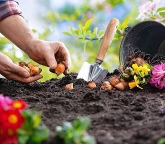 Pora na sadzenie roślin cebulowych na działkach [Terminy nasadzeń]