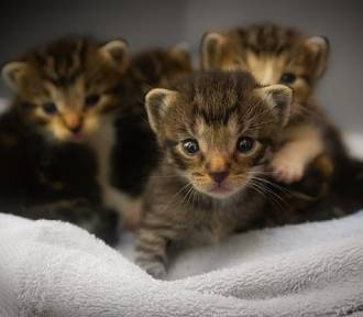 Chińska firma będzie na masową skalę klonować i sprzedawać... koty