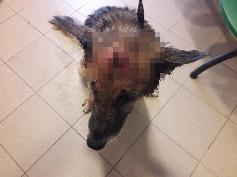 Skatowany pies w Boguszowie-Gorcach