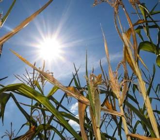 Rolnicy są zdesperowani. Susza zbiera swoje żniwo [WIDEO]