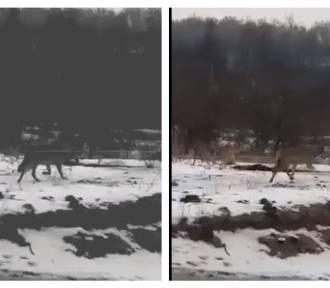 Powiat gnieźnieński. Wilk pojawił się w okolicach Trzemeszna [FOTO, FILM]
