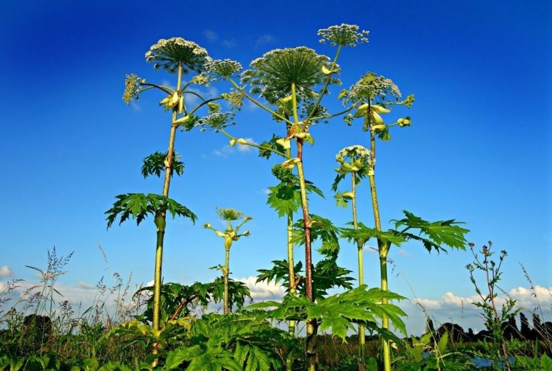 Wiadomo, że pokrzywa parzy, ale jest więcej roślin, które mogą poparzyć znacznie bardziej lub wywołać podrażnienia skóry i błon śluzowych