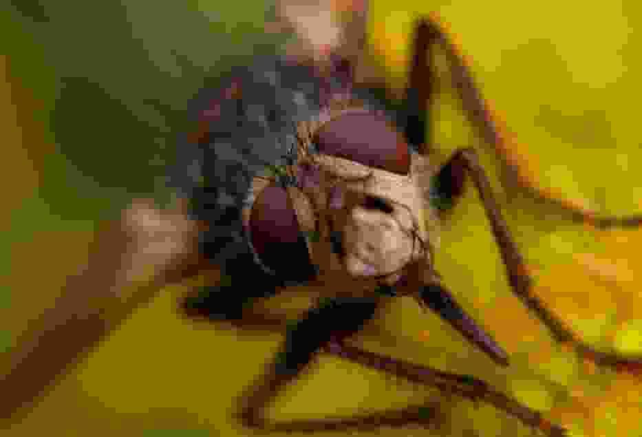 Jeżmucha ( Echinomyia fera )