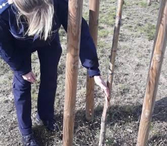 Z REGIONU. Policja szuka sprawców zniszczenia... 600 drzew na obwodnicy Jarocina ZDJĘCIA