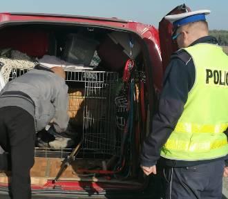 Ratowali rannego bociana na S5 w Lesznie. Został okaleczony