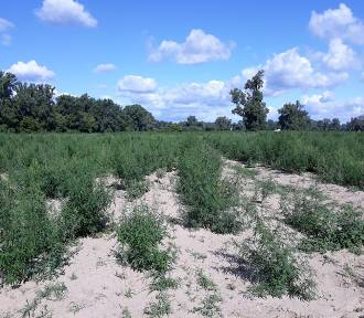 Ogromna plantacja marihuany pod Toruniem. Zobaczcie zdjęcia