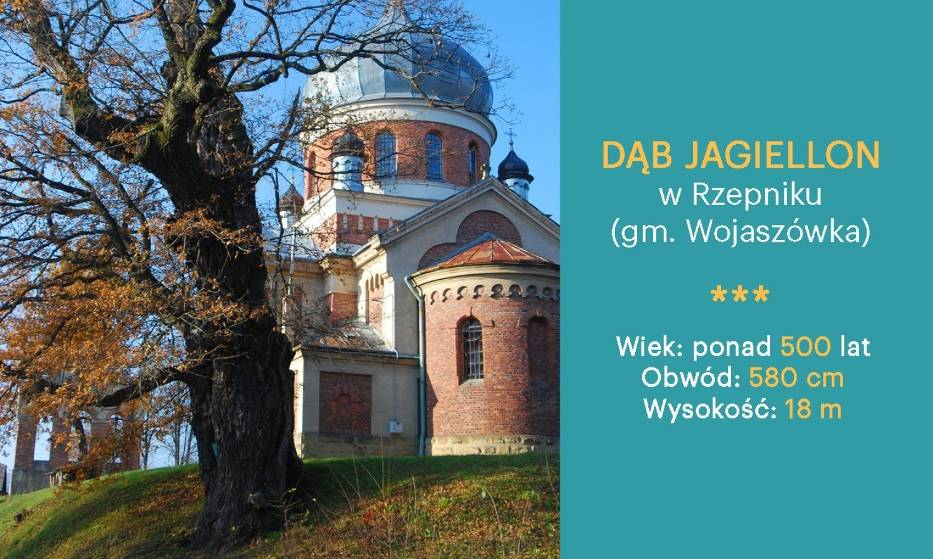 Dąb Jagiellon w Rzepniku (gm