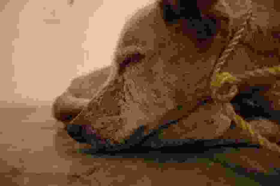 Umierający pies na wystawie Vargasa