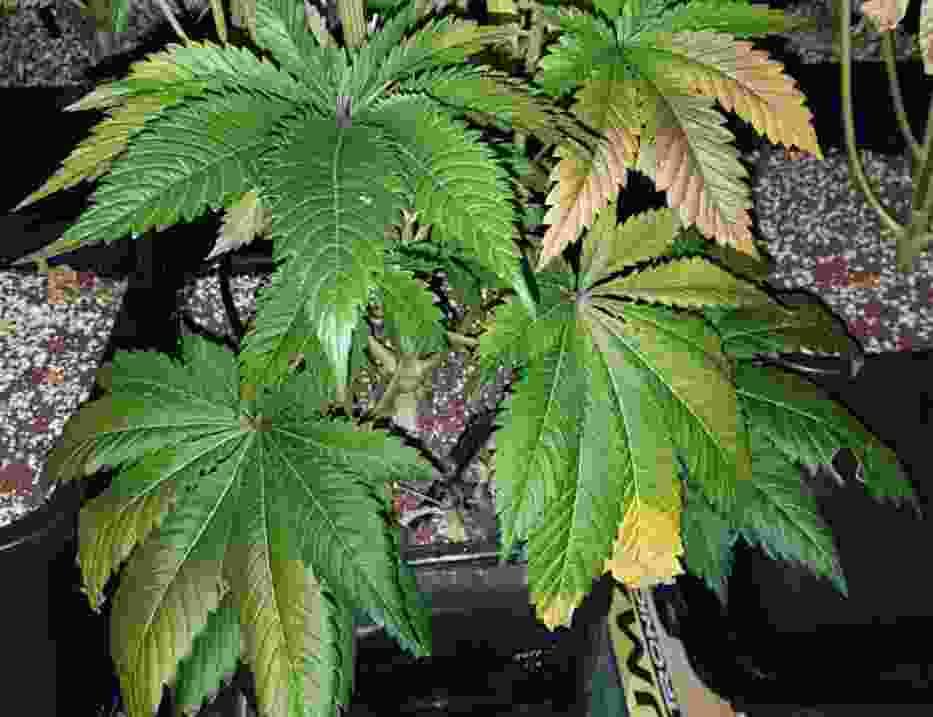 Kryminalni zlikwidowali w Pile nielegalną plantację marihuany
