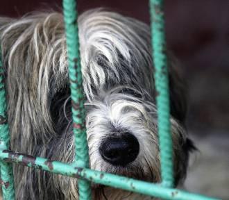 Sylwestrowe wystrzały to dziesiątki błąkających się psów na ulicach miast