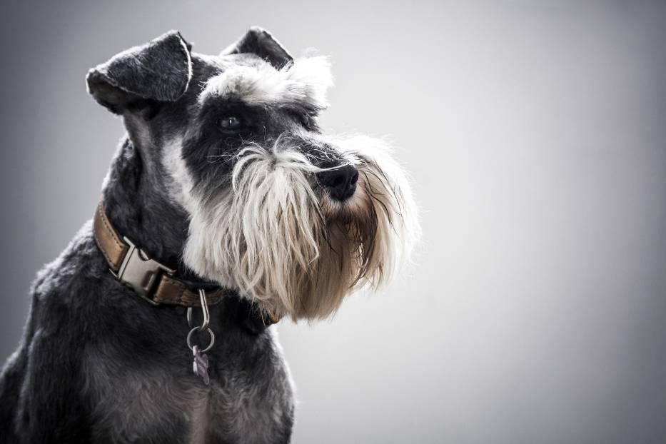 Sznaucer miniaturowySznaucer miniaturowy to pies przyjacielski i towarzyski, nie należy jednak zapominać o jego charakterku, który objawia się m