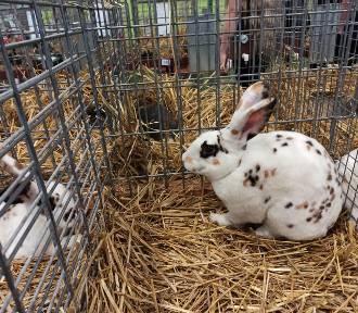 Najpiękniejsze króliki w Polsce pod Koninem