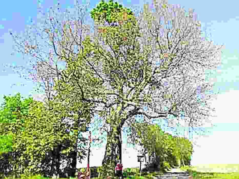 Platan Karol w Leszczynach ma już 160 lat i 18 m wysokości