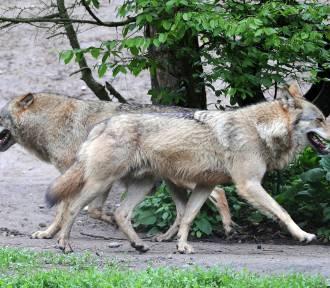 Czy Czerwony Kapturek i jego babcia powinny bać się wilka? Weź udział w dyskusji!