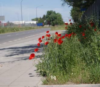 Ulice w Kaliszu wyglądają, jak kwietne łąki. ZDJĘCIA