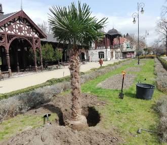 Sadzą palmy na Dolnym Śląsku! Wiemy, skąd je biorą i gdzie rosną [ZDJĘCIA]