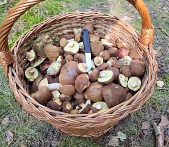 Czy są grzyby w lasach? Na grzyby wybrali się nasi czytelnicy. Zobacz ich zbiory!