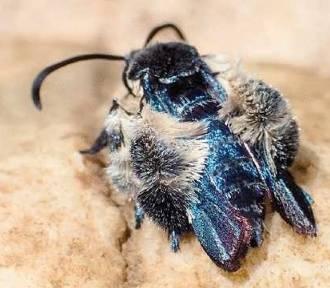 Sądzono, że ten motyl wyginął 130 lat temu. Odnalazła go badaczka z UG