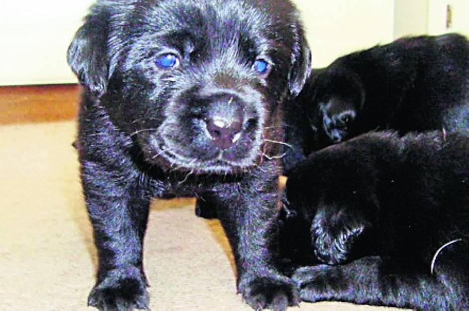 Małe labradory czekają na swoich opiekunów