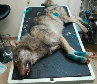 Nie można było znaleźć pomocy dla wilka potrąconego w Małym Klinczu. Ratunek nadszedł aż z Bytowa