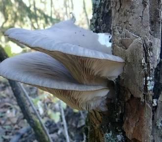 Tych grzybów na pewno nie znacie. Są jadalne i smaczne