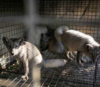 Jak żyją zwierzęta na fermie lisów koło Łodzi?