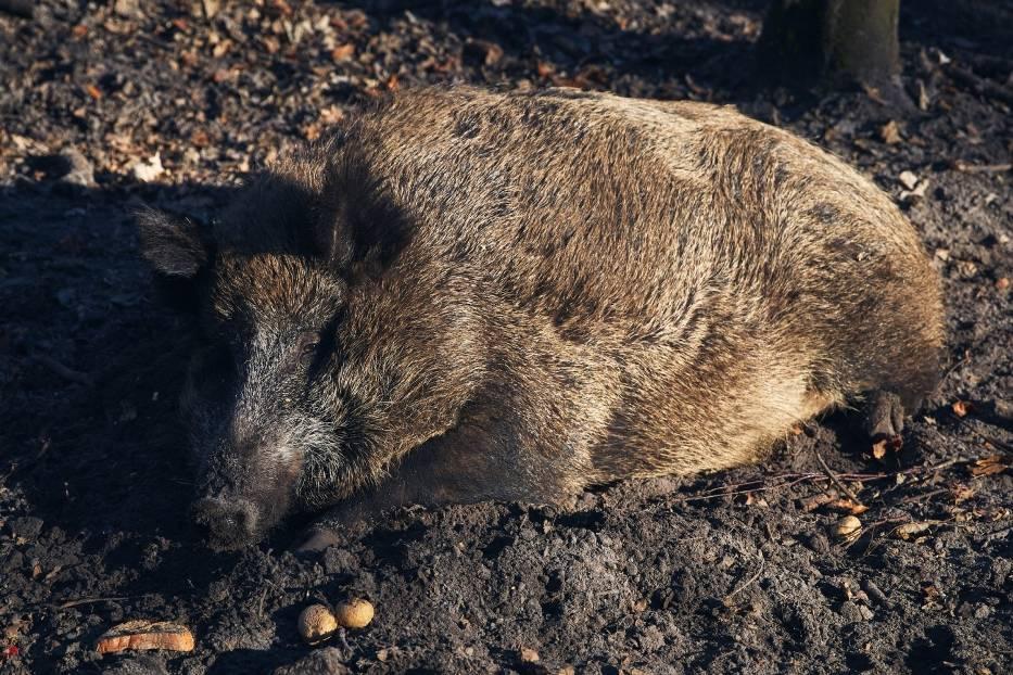 Świnie domowe i dziki to główne źródło zagrożenia