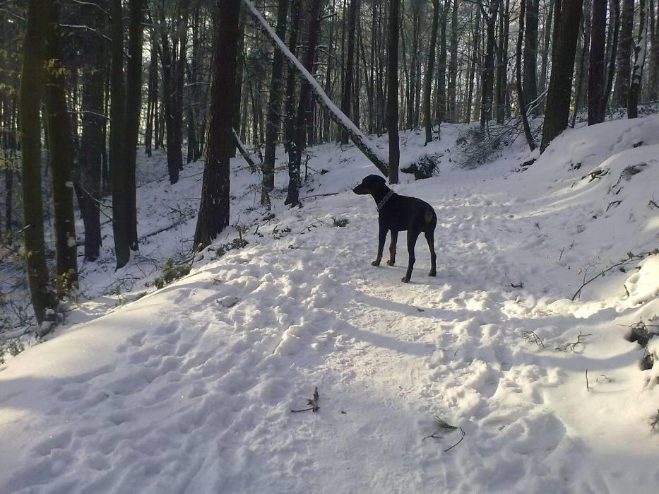 Pies w gdyńskich lasach nie ma prawa biegać bez smyczy