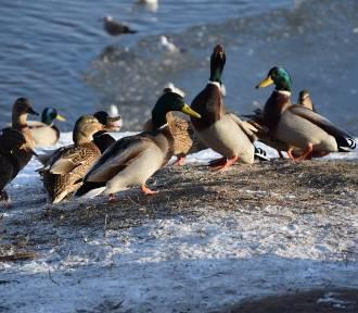 Mroźna zima w mieście. Dokarmiaj ptaki tak, żeby im pomóc, a nie zaszkodzić