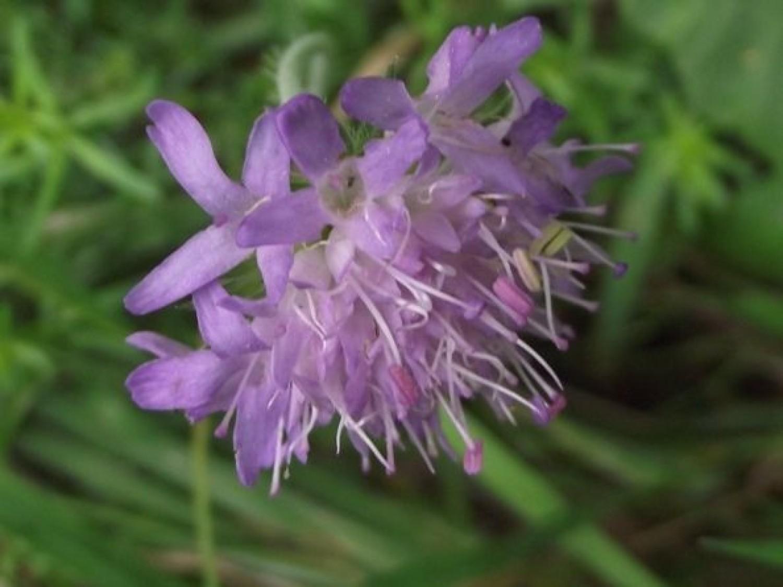Czarcikęs łąkowy kwitnie późnym latem, tworząc kwiat kulisty