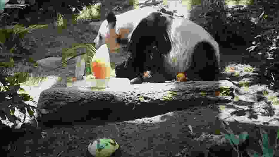 Najstarsza panda na świecie skończyła 37 lat