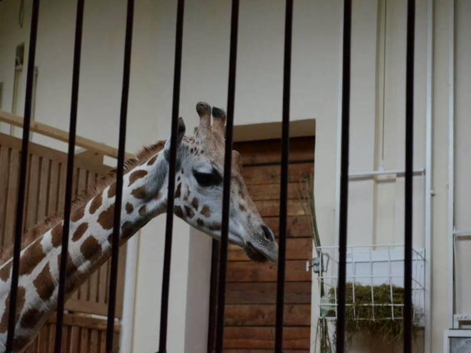 Padła żyrafa w zoo w Łodzi