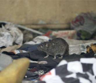 W Pabianicach walka ze szczurami