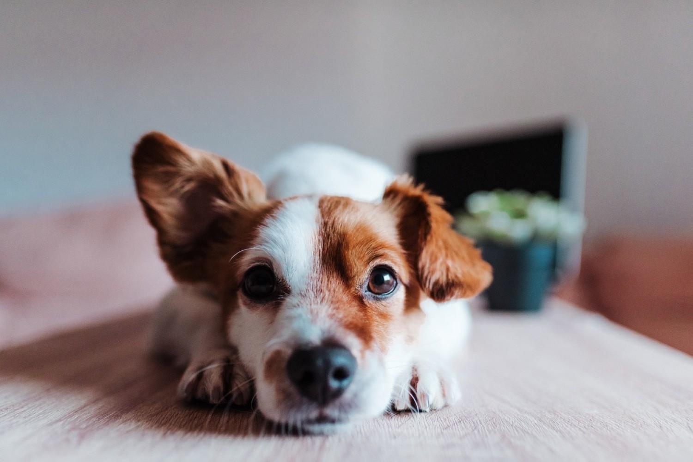Psie ucho porusza 17 mięśni
