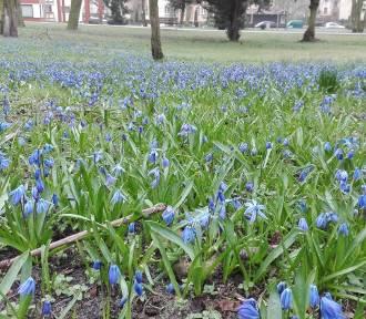 Kwiaty w parku Chopina w Świnoujściu cieszą oko