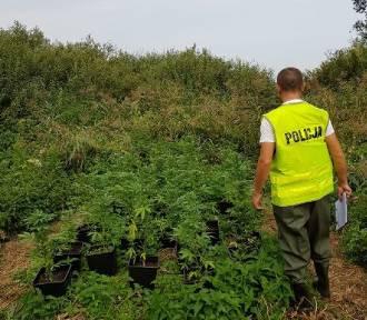 Policjanci z Radomska zlikwidowali trzy plantacje marihuany