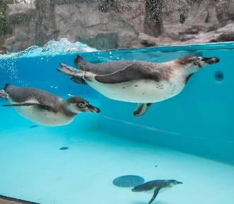 Pingwiny też mają swoje święto