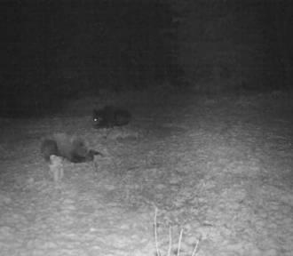 Dwa żerujące niedźwiedzie w okolicach Dukli. Ostatnia kolacja przed zimowym snem?