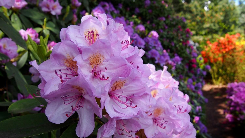 Rododendrony wyglądają dobrze we własnym towarzystwie, ale jest znacznie więcej roślin, które można z nimi sadzić