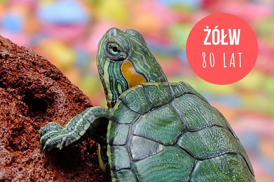 Żółw stepowy to jedno z najbardziej długowiecznych zwierząt domowych