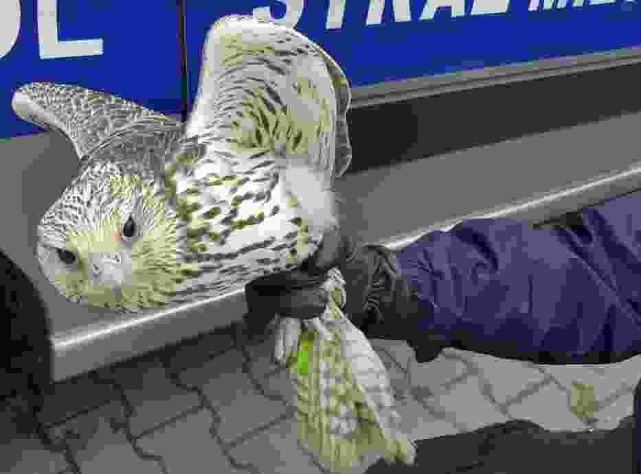 Sokół wbił się w szybę na Gocławiu. Konieczna była pomoc Ekopatrolu!