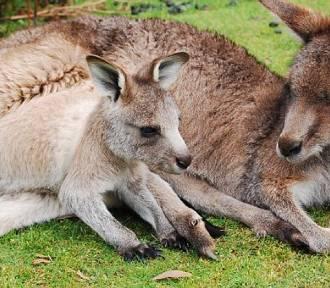 Podejrzana walizka na wrocławskim lotnisku. A w niej... pełno czaszek kangurów!
