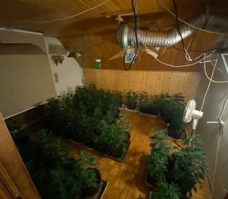 Plantacja zlikwidowana: 196 doniczek, nowoczesny sprzęt i narkotyki warte pół miliona!