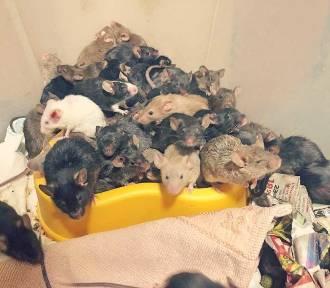 """Szok! Tysiąc myszy w mieszkaniu we Wrocławiu. """"Hodowla wymknęła się spod kontroli"""""""