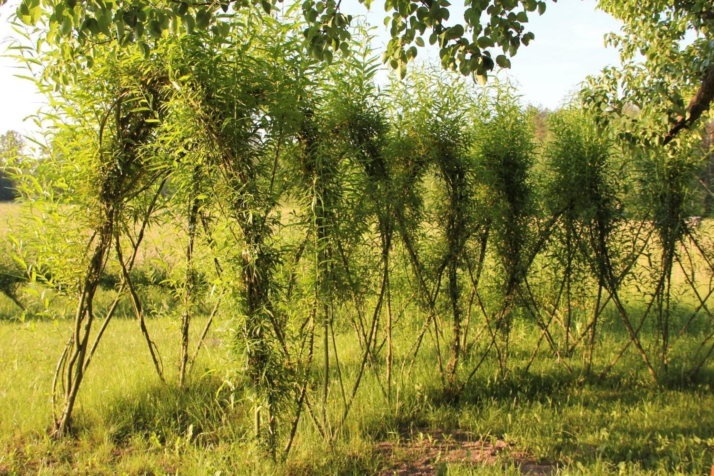 Różne konstrukcje ogrodowe można tworzyć także z żywych roślin